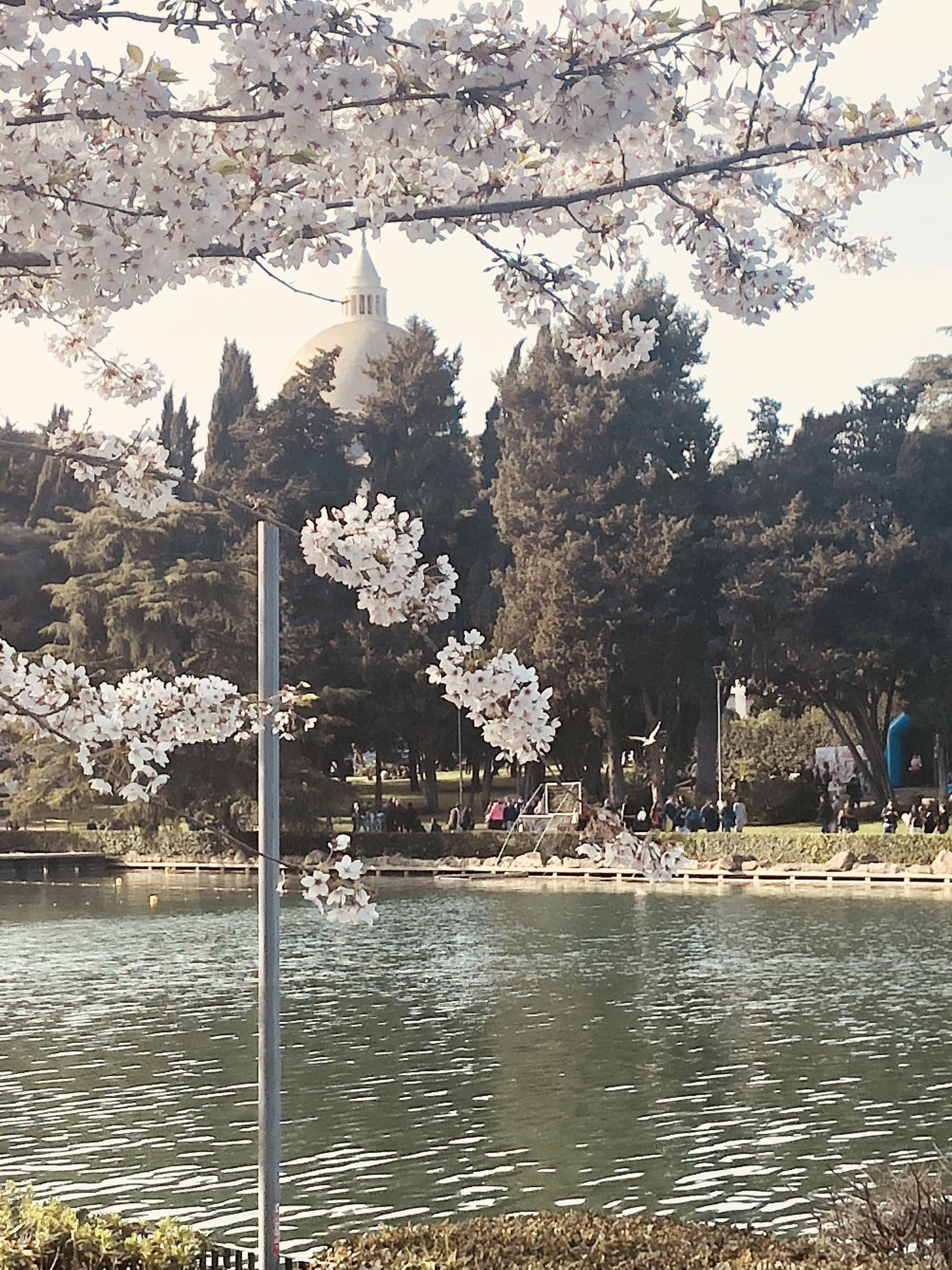 Lago dell'Eur ciliegi in fiore